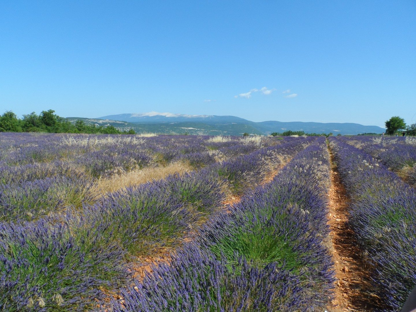 Lavender_in_Bloom_in_Sault_Provence_JustFrance