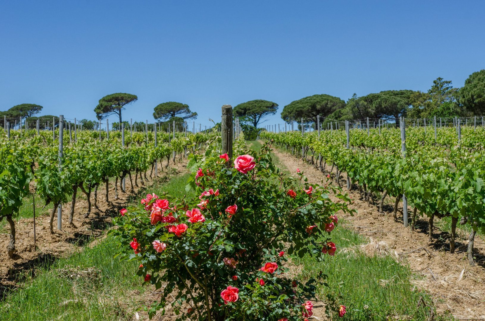 chateau-volterra-vineyard-ramatuelle-st-tropez