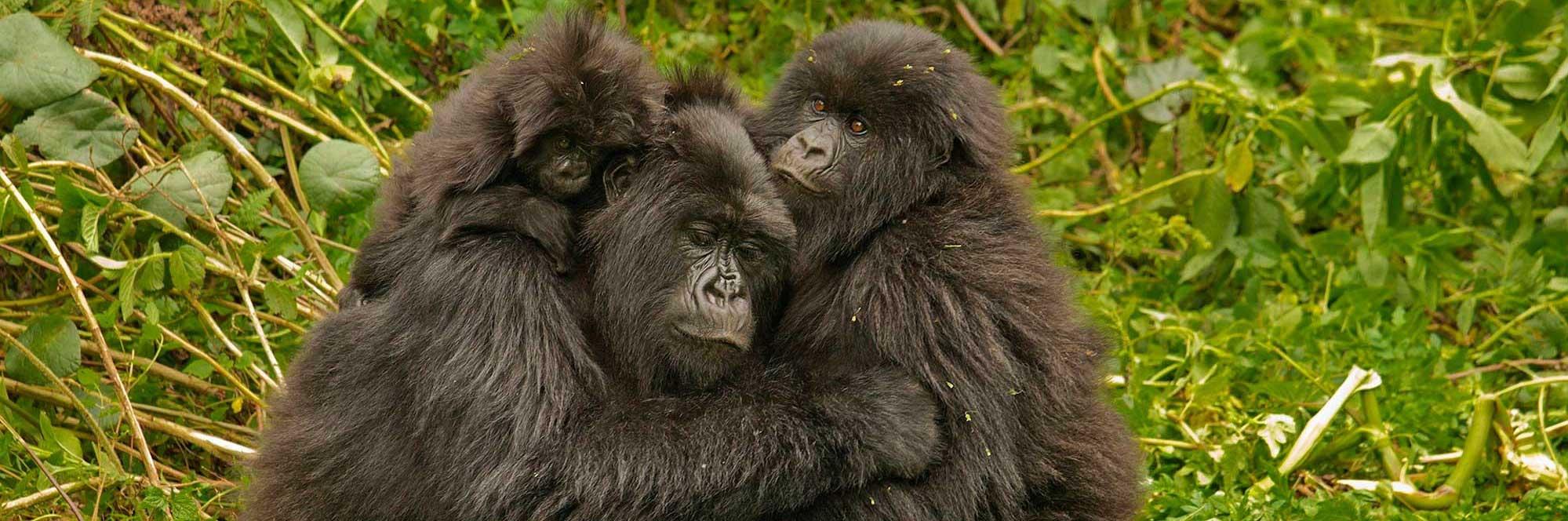 gorillas-jp_fotor_fotor